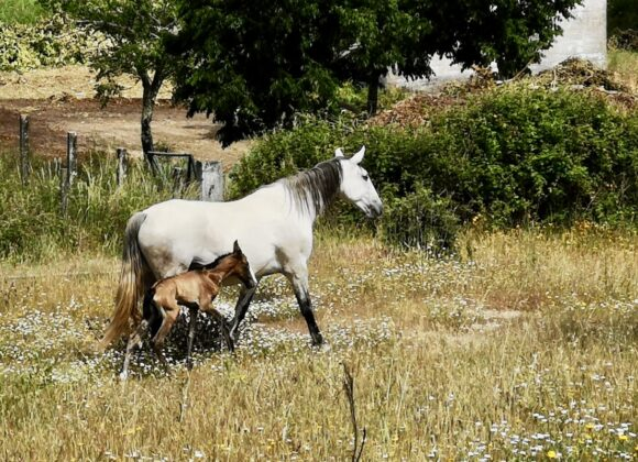 2nd Lusitano dressage filly 2021